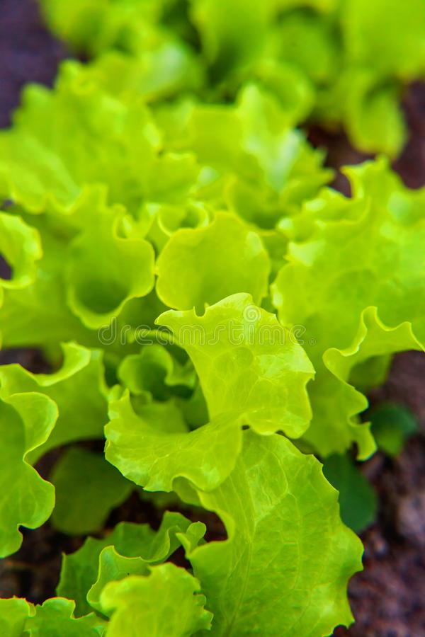Аграрное поле с зеленым салатом салата лист на кровати сада в поле овоща стоковое фото