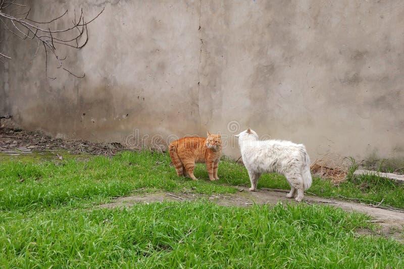 Агрессивные сердитые коты перед боем на весеннем сезоне стоковое фото rf