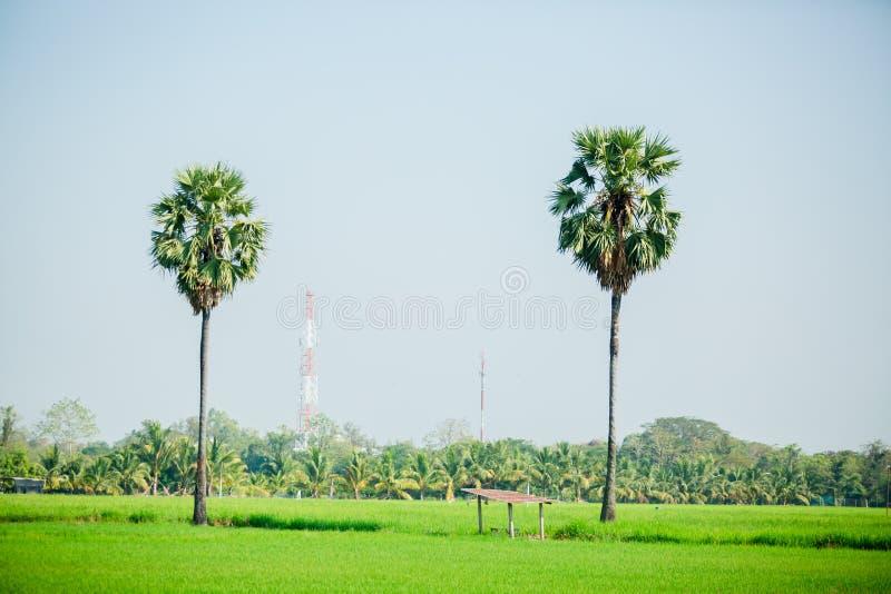 Азиатская ладонь пальмиры в зеленых рисовых полях которое как раз было засажено стоковая фотография rf