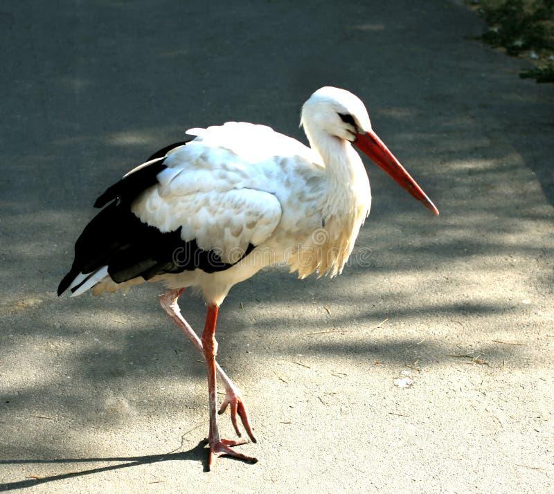 Аист стоя на одной ноге биографической стоковая фотография rf