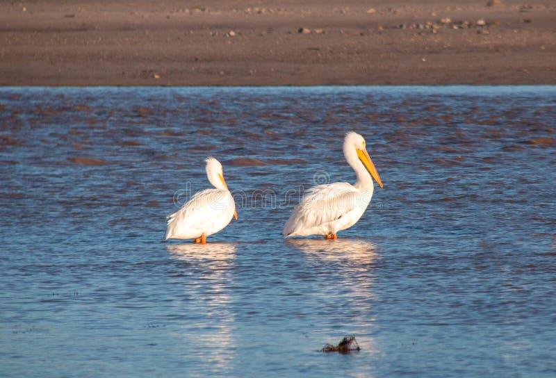 2 американских белых пеликана в Реке Santa Clara на парке штата McGrath на Тихоокеанском побережье на Вентуре Калифорния соединил стоковая фотография