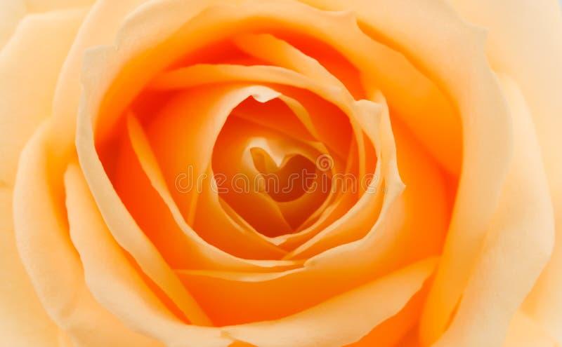 Апельсин и роза желтого цвета стоковое изображение rf