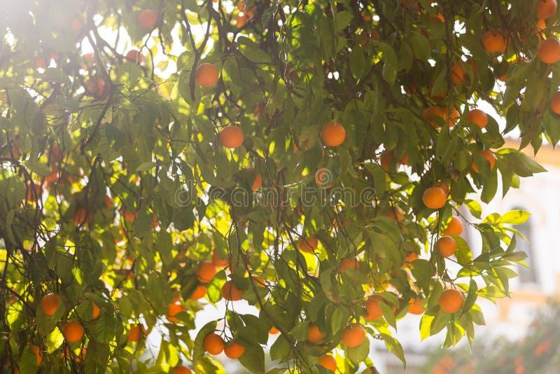 Апельсиновое дерево с плодами на своих ветвях стоковые фото