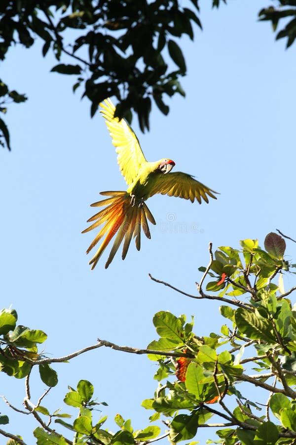 Ара летания, Коста-Рика стоковые изображения rf