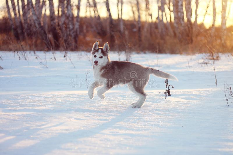 А husky puppy enjoys the snow royalty free stock photos