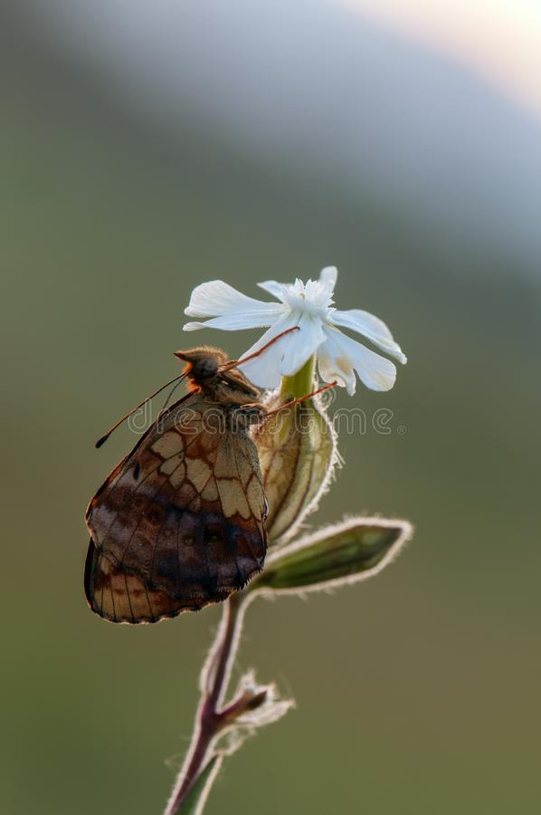 Бабочка Brentis Daphne стоковая фотография rf