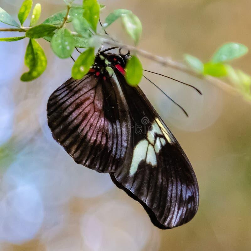 Бабочка Heliconius Melpomene почтальона со сложенными крыльями стоковые фото
