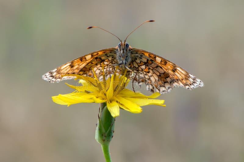 Бабочка Melitaea на желтом цветке сушит свои крылья от росы стоковая фотография