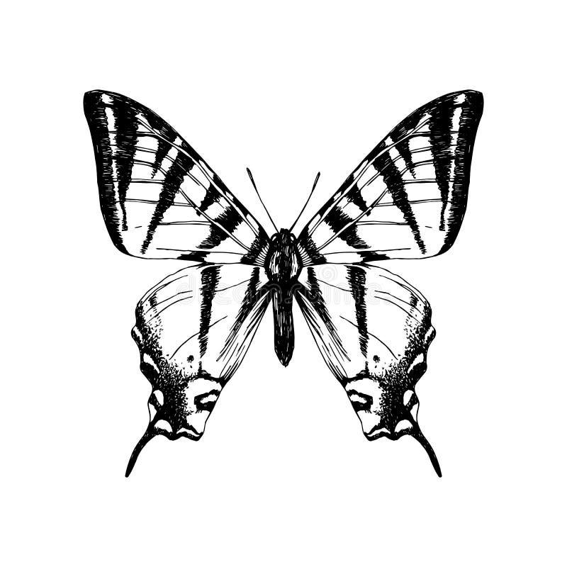 Бабочка swallowtail тигра руки вычерченная западная иллюстрация вектора