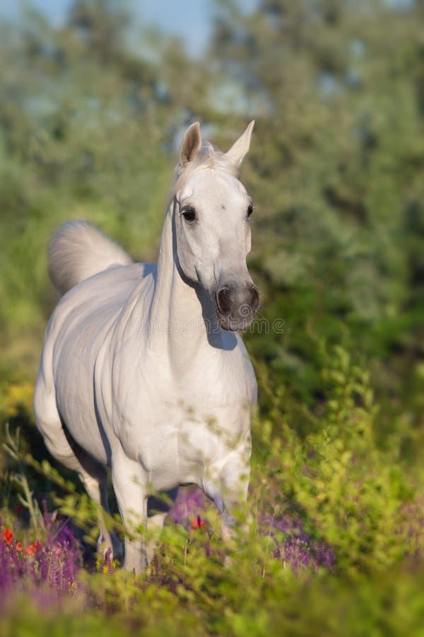 Бег белой лошади в поле цветков стоковые фото