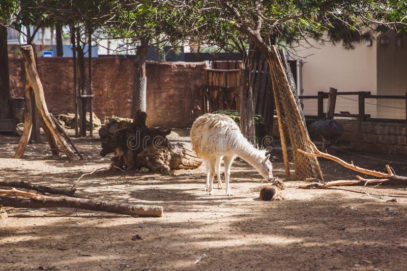 Белая и коричневая лама в небольшом зоопарке стоковое изображение rf