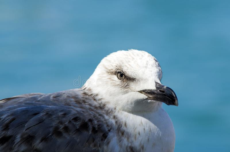 Белая серая и голубая чайка смотря на море стоковое фото rf