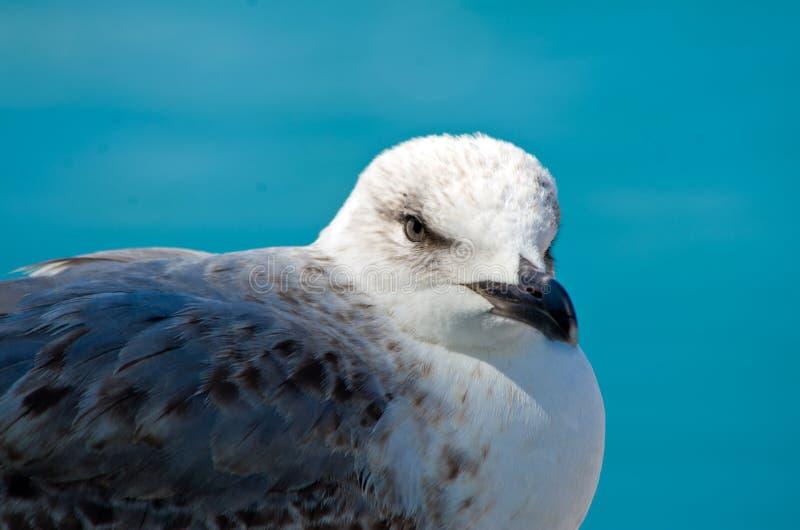 Белая серая и голубая чайка смотря на море стоковое изображение rf