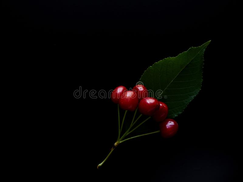 белизна макроса вишни ветви bacground стоковые фото