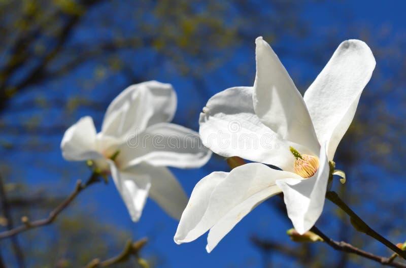 белизна magnolia цветка стоковая фотография rf