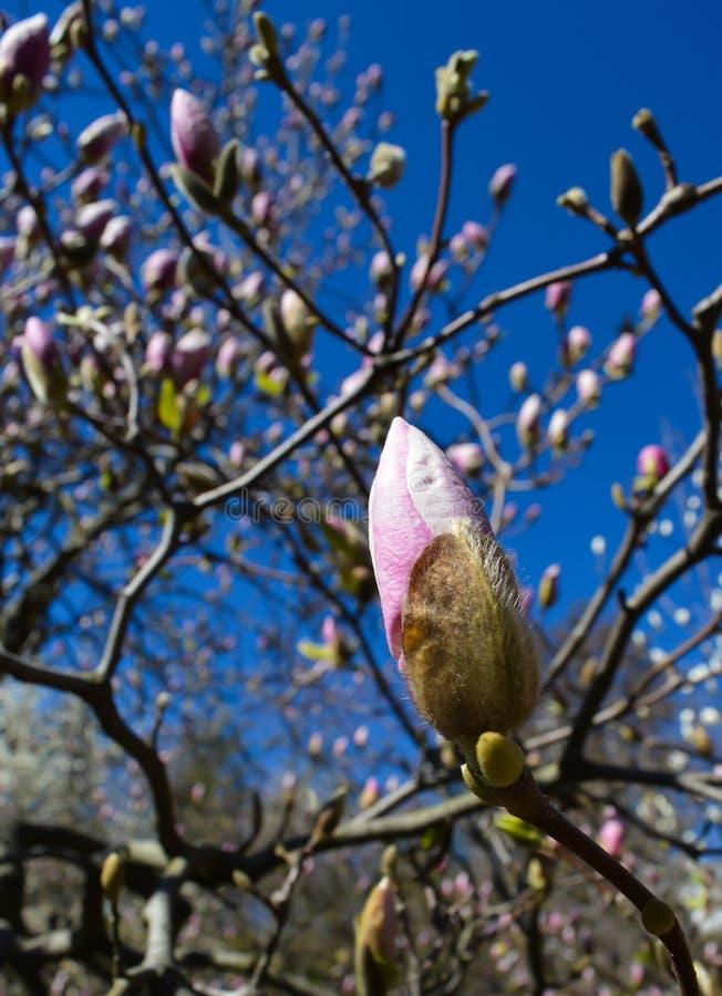 белизна magnolia цветка стоковые изображения