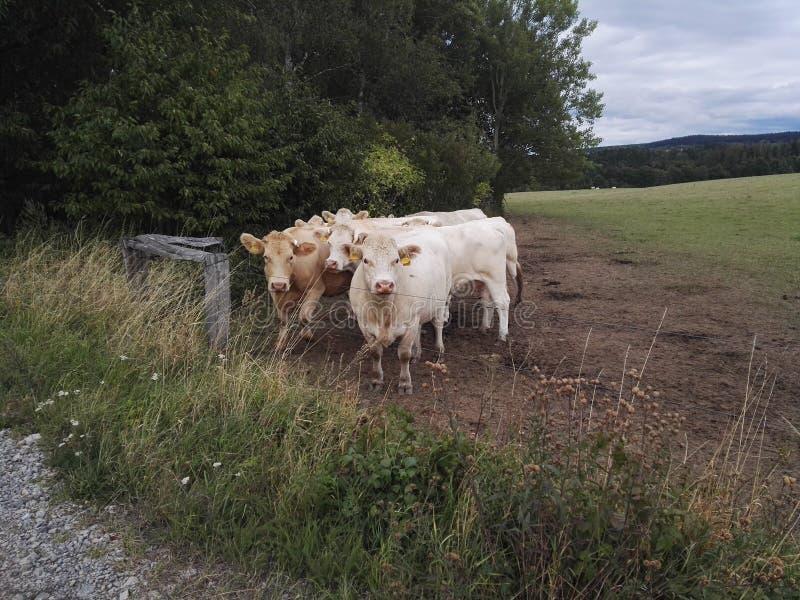 Белые коровы смотря на photofraph стоковые изображения