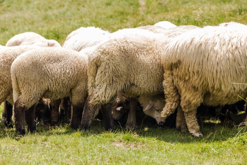 Белые пушистые овцы оставаясь, что близко друг к другу создать тень для их голов, пока принимающ перерыв от питаться, в полдень стоковые фотографии rf