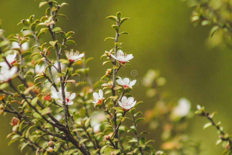 Белые цветения зацветая на дереве Manuka в Новой Зеландии стоковое изображение