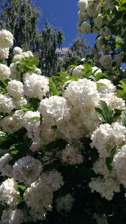 white flowers in the city of Kazan stock photos