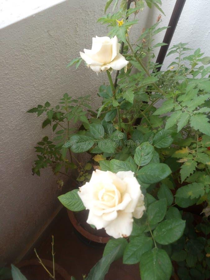 Белые розы домой засаживают естественные лепестки бархата стоковое изображение rf