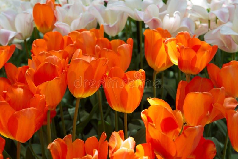 Белый и оранжевый сад тюльпанов весной желтый цвет весны лужка одуванчиков предпосылки полный стоковые фото