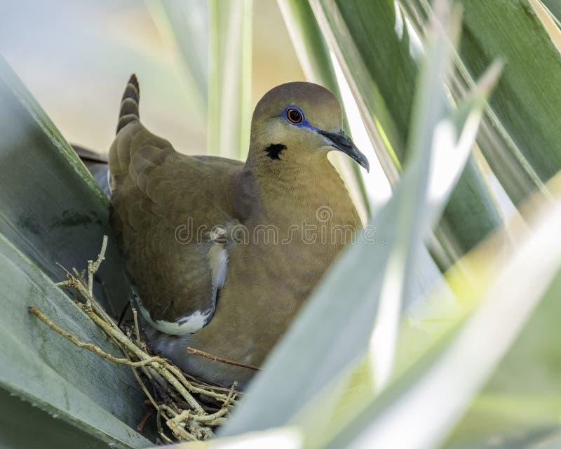 Белый, который подогнали голубь на гнезде стоковое изображение rf
