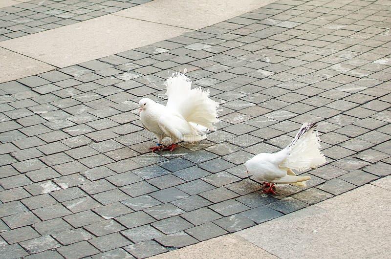 2 белых голубя идут на тротуар стоковое изображение