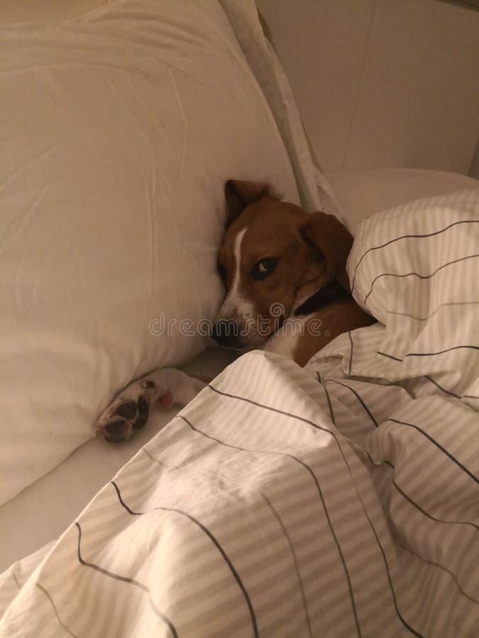 Бигль спать собаки стоковое фото rf