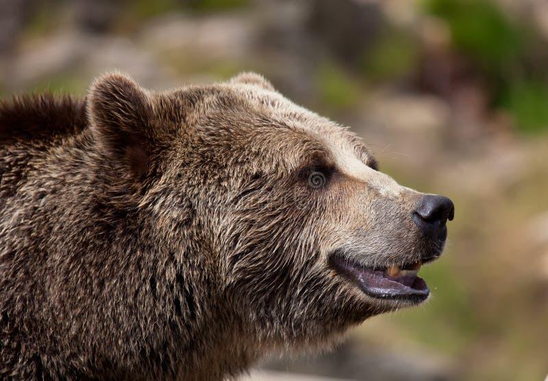 Близкий поднимающий вверх портрет взрослого бурого медведя Портрет beringianus arctos Ursus медведя Камчатки стоковое фото rf