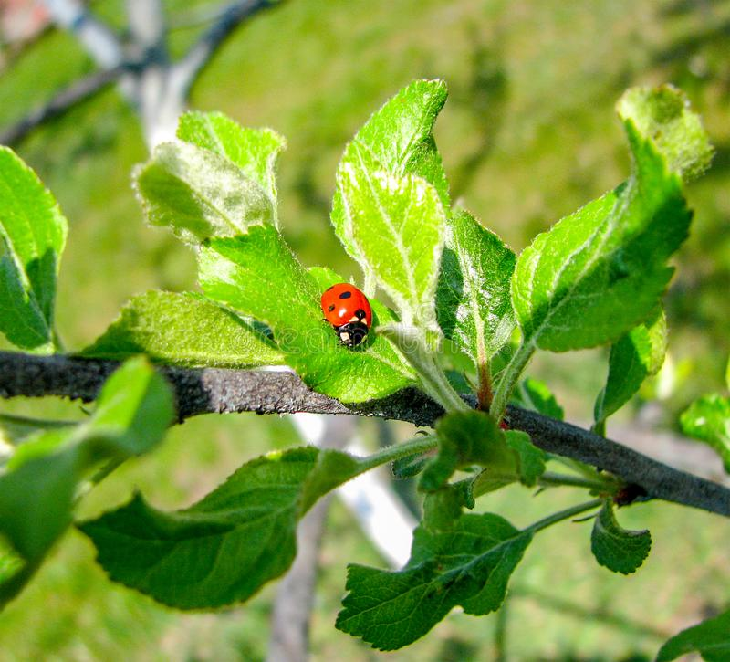 Близкий поднимающий вверх ladybug на зеленых лист на ветви дерева стоковое изображение rf