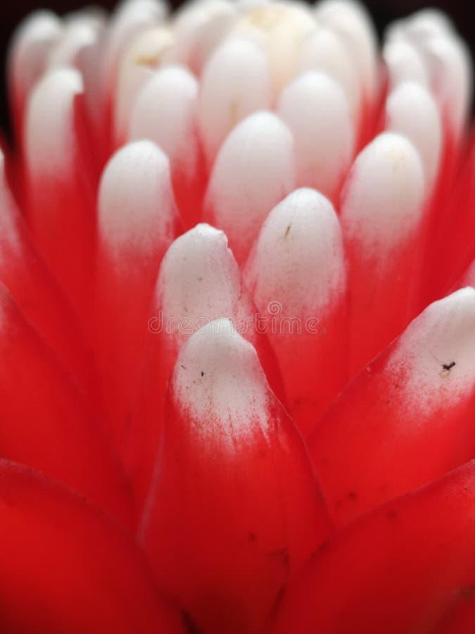 Близкий цветок перестрелки микро- стоковое изображение rf