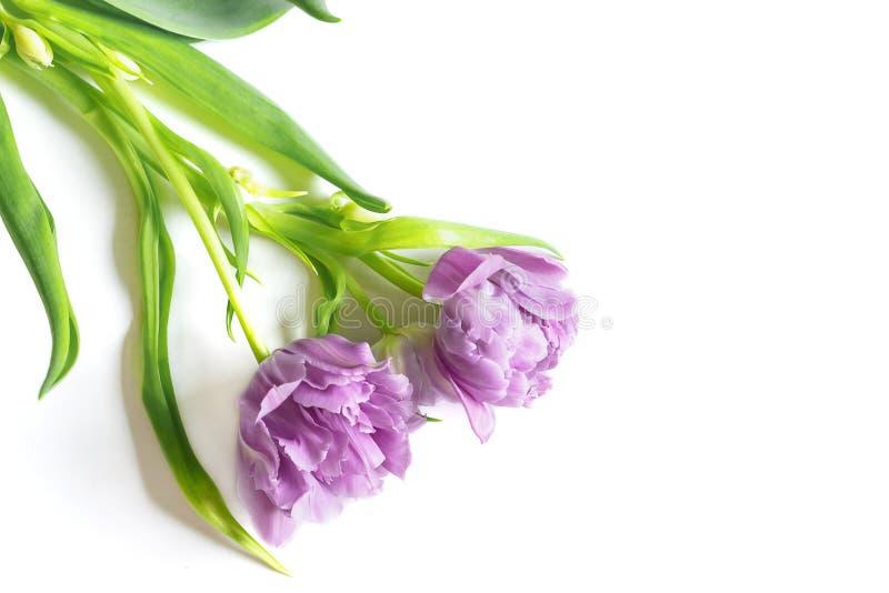 Букет фиолетовых тюльпанов на белой предпосылке Пасха, концепция весны Плоское положение, взгляд сверху стоковые изображения rf