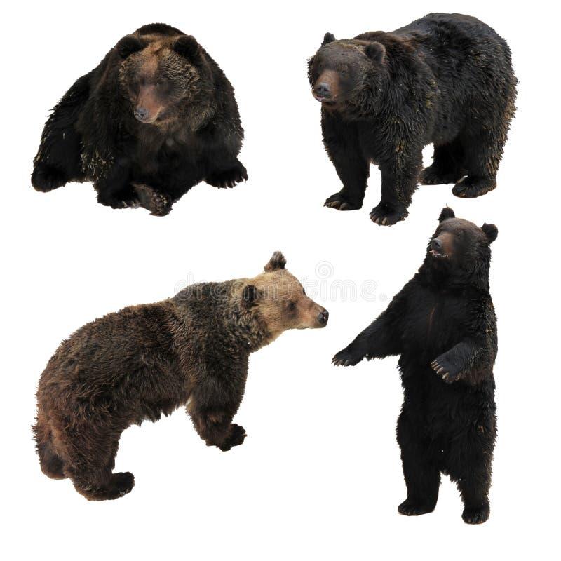 Бурый медведь Японии группового действия изолированный на белой предпосылке имеет путь стоковые фотографии rf