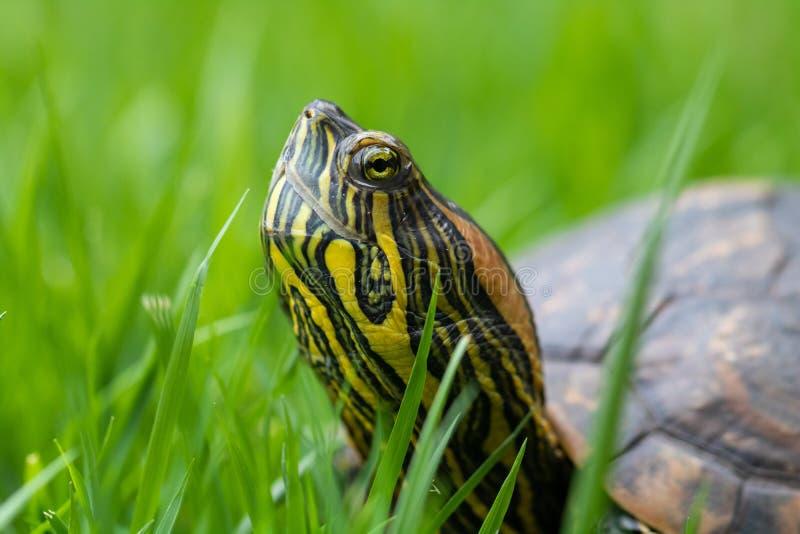 """Бразильский вода gua ¡ Ã Tigre черепаха d """"идя на зеленую траву, камуфлируя стоковое фото"""