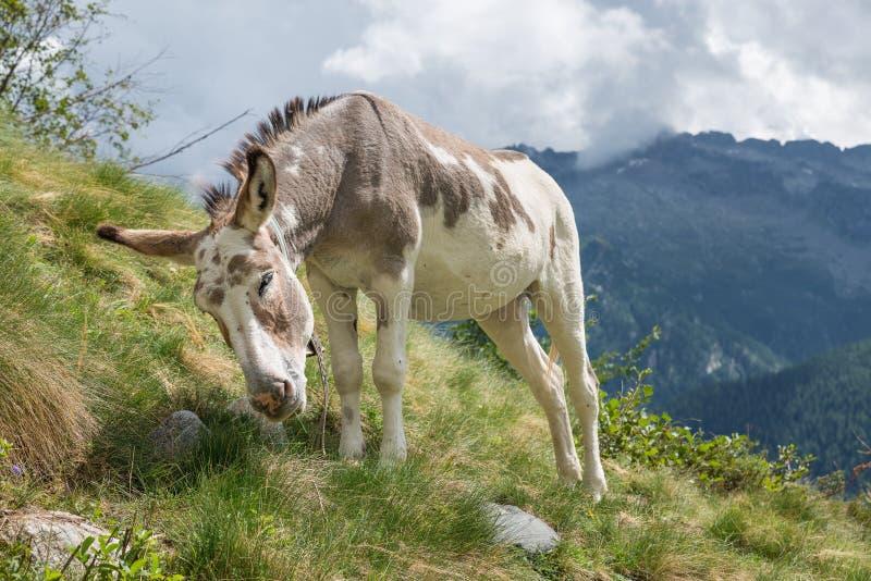 Браун и осел белого †«бежевый пася в выгоне горы стоковое фото rf