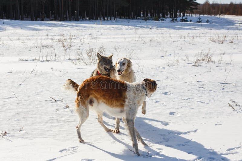 Бой 2 охотничьих собак собаки и серого волка в снежном поле стоковое фото