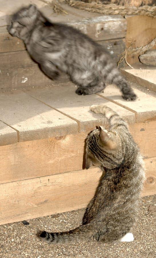 Бой 2 striped котов стоковое изображение rf