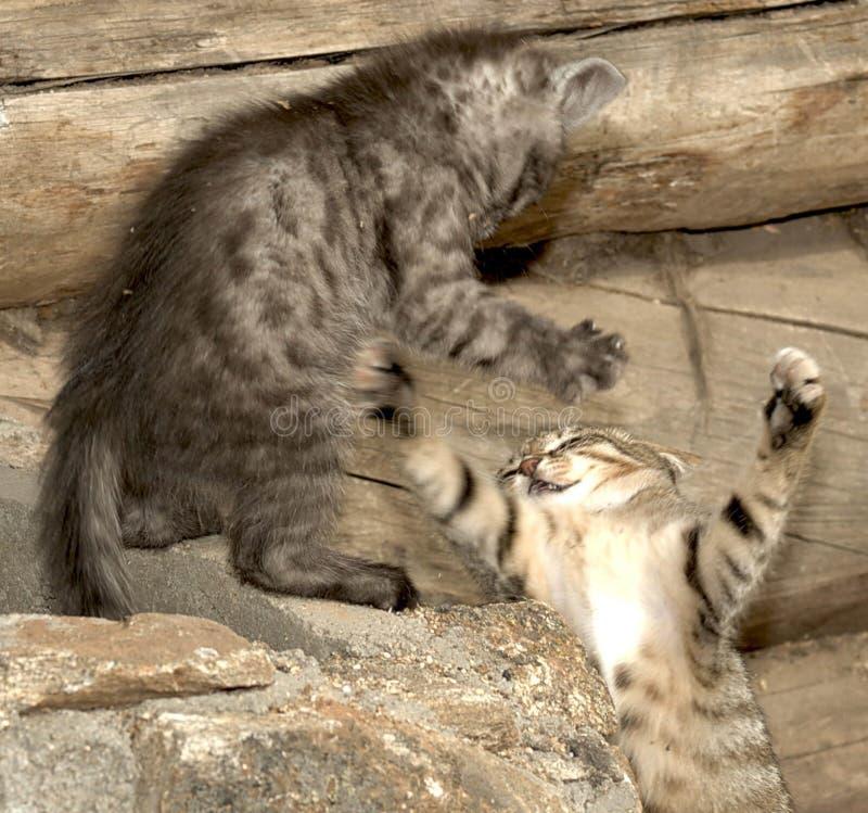 Бой 2 striped котов стоковая фотография