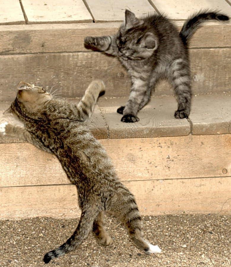 Бой 2 striped котов стоковые изображения