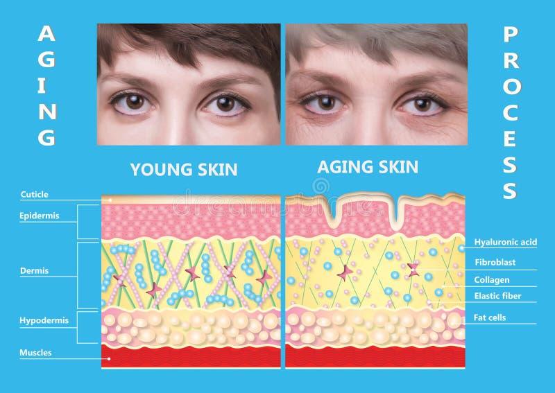 Более молодая кожа и кожа вызревания эластин и коллаген стоковое изображение rf