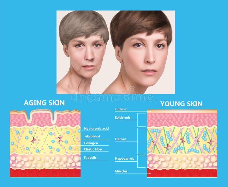 Более молодая кожа и кожа вызревания эластин и коллаген стоковая фотография rf