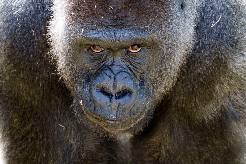 Большая обезьяна стоя его земля стоковые изображения rf
