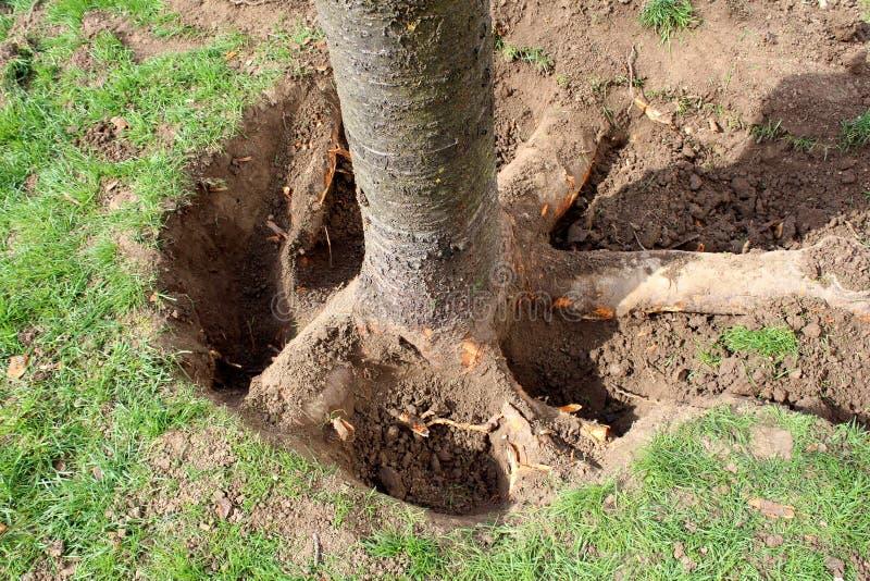 Большие корни дерева отрытые с почвой, который извлекли перед резать ее вниз и выкапывать из земли для того чтобы засадить новое  стоковая фотография