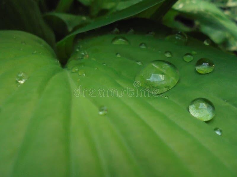 Большие прозрачные дождевые капли на зеленых листьях хозяина стоковое фото rf