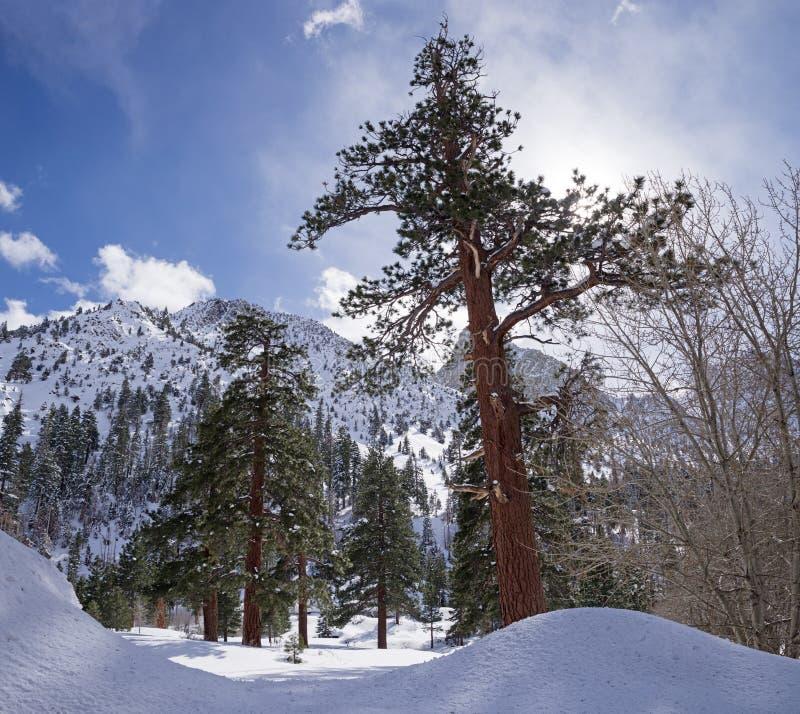 Большие старые сосны в зиме стоковая фотография
