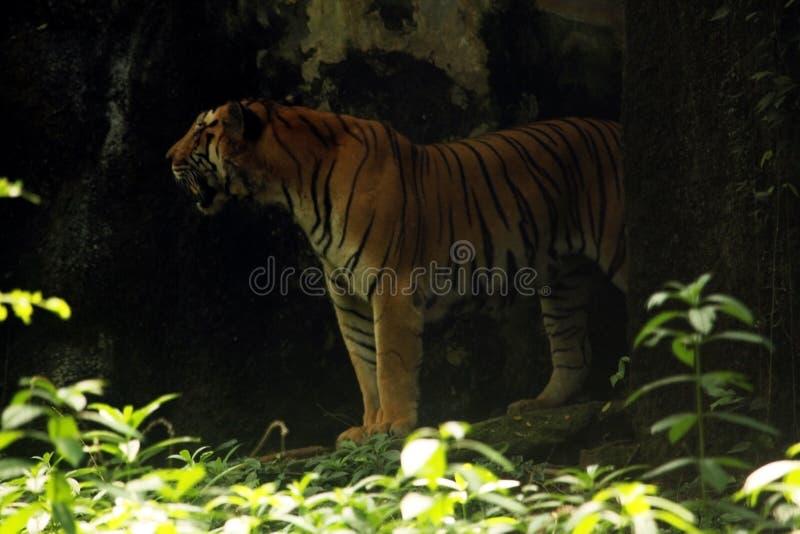 Больший азиатский тигр стоя вне на входе cdave леса, ndia стоковая фотография rf