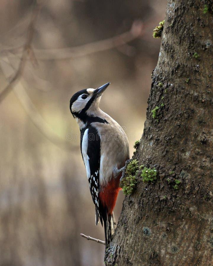 Больший запятнанный woodpecker, женщина Dendrocopos главная стоковое изображение