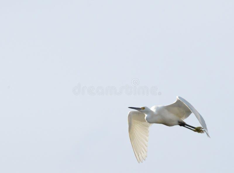 Больший Egret витает над травой покрыл заболоченные места ниже стоковые фотографии rf
