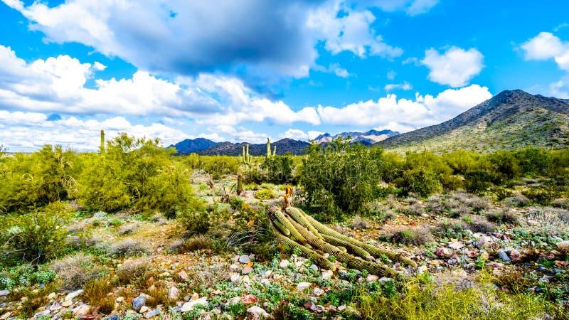 Большой кактус Saguaro дунутый сверх в semi ландшафте пустыни горной цепи McDowell стоковая фотография rf